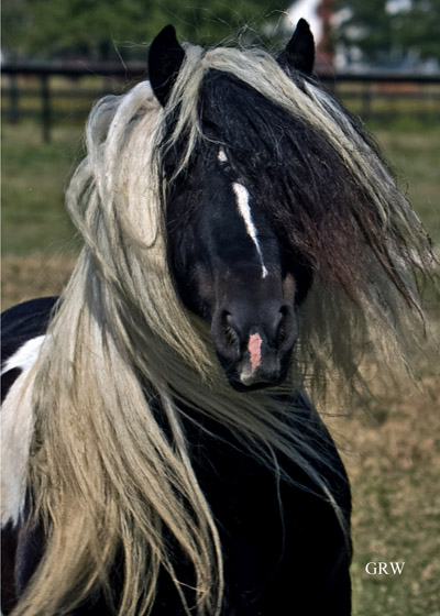 Gypsy Warlock-Gypsy Vanner Stallion-possibly for Sale?