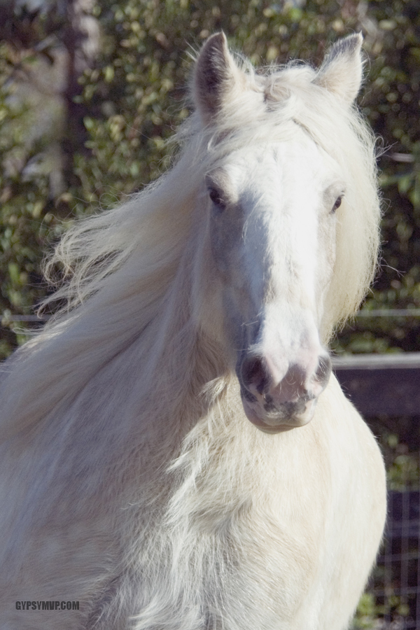 Dappled Chocolate Palomino Gypsy Vanner Mare