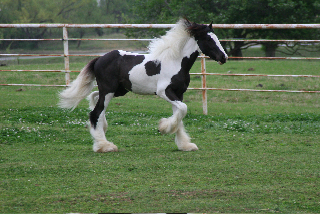 Pistol Pete-Potential Herd Stallion