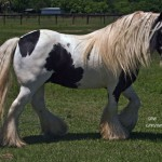 Todays Gypsy Vanner Photos