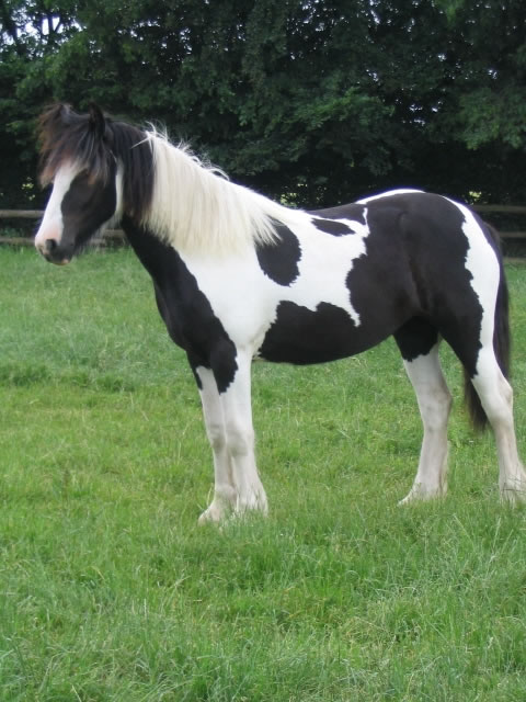 Mary Poppins-Gypsy Horse Mare for Sale