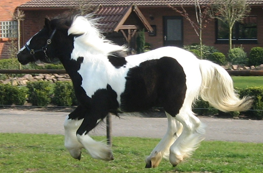 Naomi-Gypsy Horse Mare for Sale