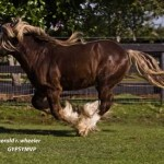 Gypsy-Vanner-Stallion
