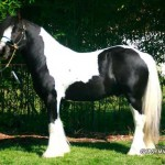 Gypsy Vanner Stallion for Sale-King Richard