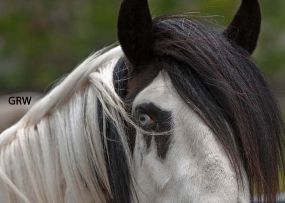 gypsy vanner horses houston