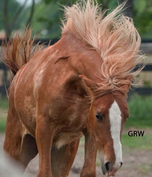 Gypsy Vanner Horses for Sale in Houston