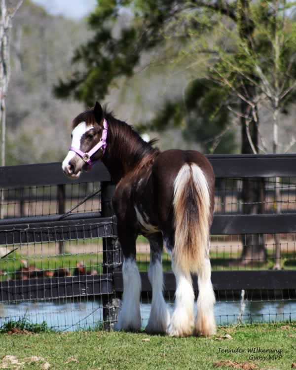 Black Blagdon Gypsy Vanner Filly
