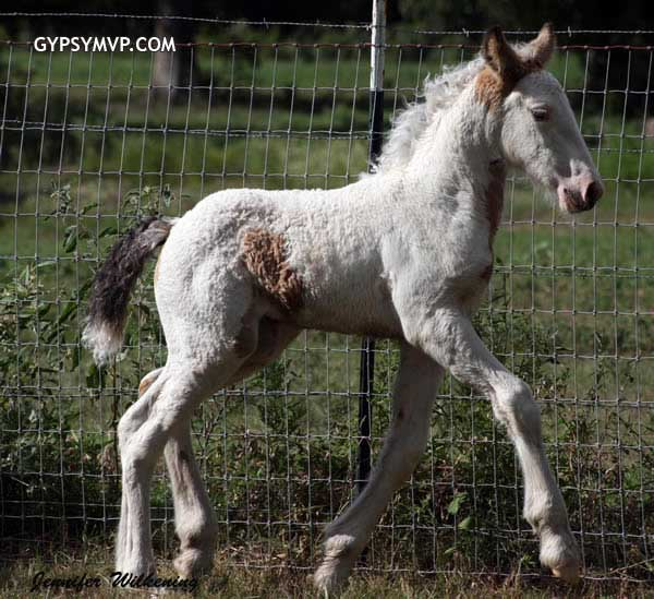buckskin-white-gypsy-vanner-filly