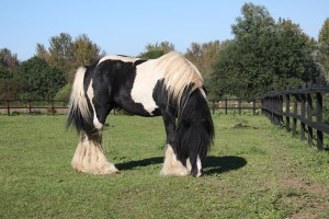 The perfect Gypsy Vanner Stallion