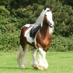 famous gypsy-vanner stallion sir maverick