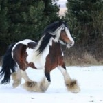famous gypsy vanner sligo