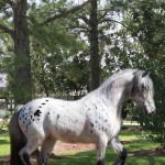 gypsy-vanner-stallion-ghost-rider