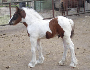 gypsy vanner foal from Sundance