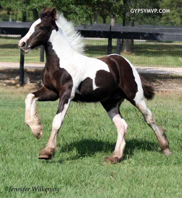 Gypsy Vanner Colt, Showtime