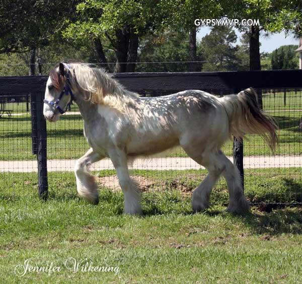 Buckskin gypsy vanner horse for sale buckskin gypsy vanner