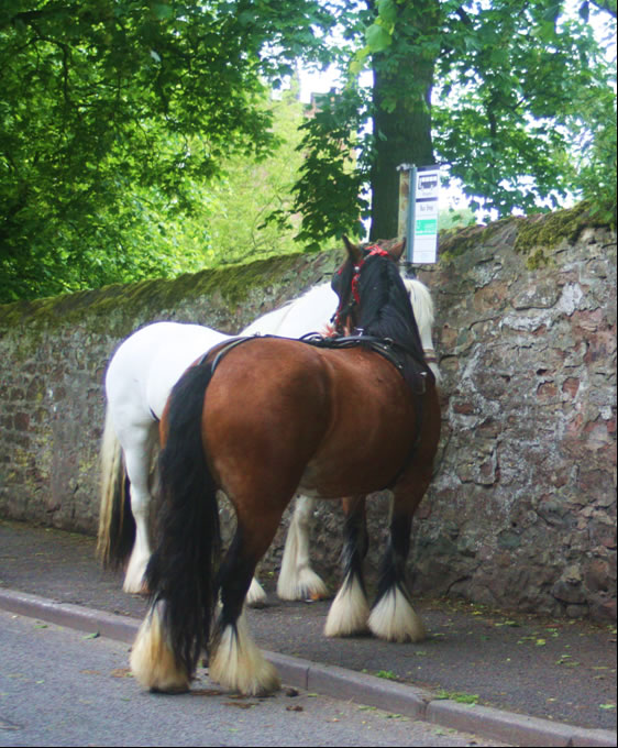 Two nice Gypsy horse tethered by the side of the road at Appleby fair 2012 on the way in to town