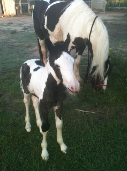 Gypsy-vanner-colt-born-this-morning