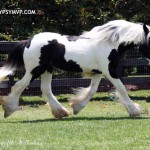 Gypsy Vanner Yearling Filly