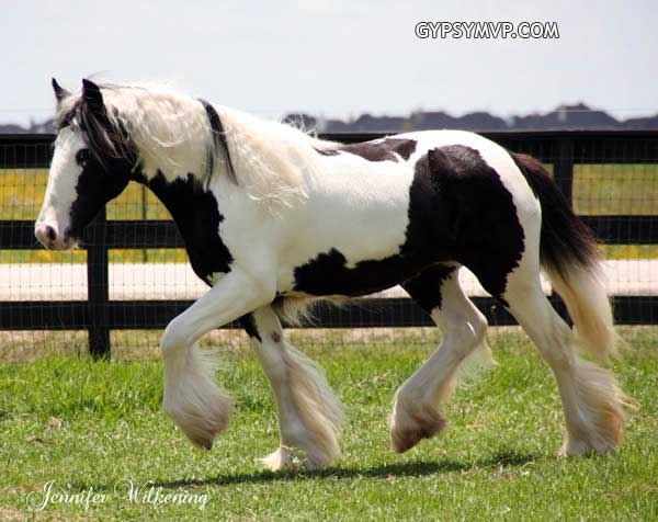 Bred gypsy vanner fillies in the usa gypsy vanner horses0340 copy
