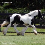gypsy-vanner-horses0370 copy