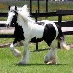 gypsy-vanner-horses0535 copy