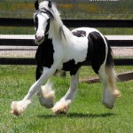gypsy-vanner-horses0538 copy