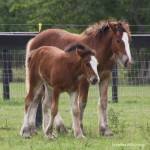 gypsy-vanner-mare-and-colt