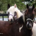 two-gypsy-vanner-horses