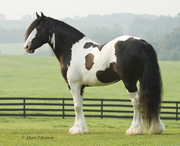 Champion Gypsy Vanner Stallion for sale in Texas