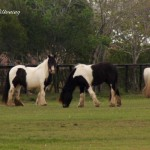 gypsy-vanner-pasture-shots